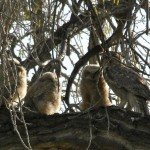 3 Owlets and Mother